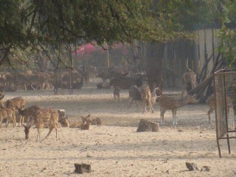 Deer in Rajasthan